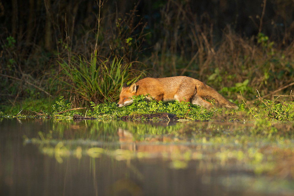 Red fox (Vulpes vulpes) at edge of stream, Kent, UK. January 2013