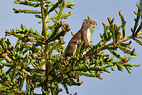 American Red Squirrel, (Tamiasciurus hudsonicus) at the top of a fir tree, Broad Cove, Nova Scotia, Canada,