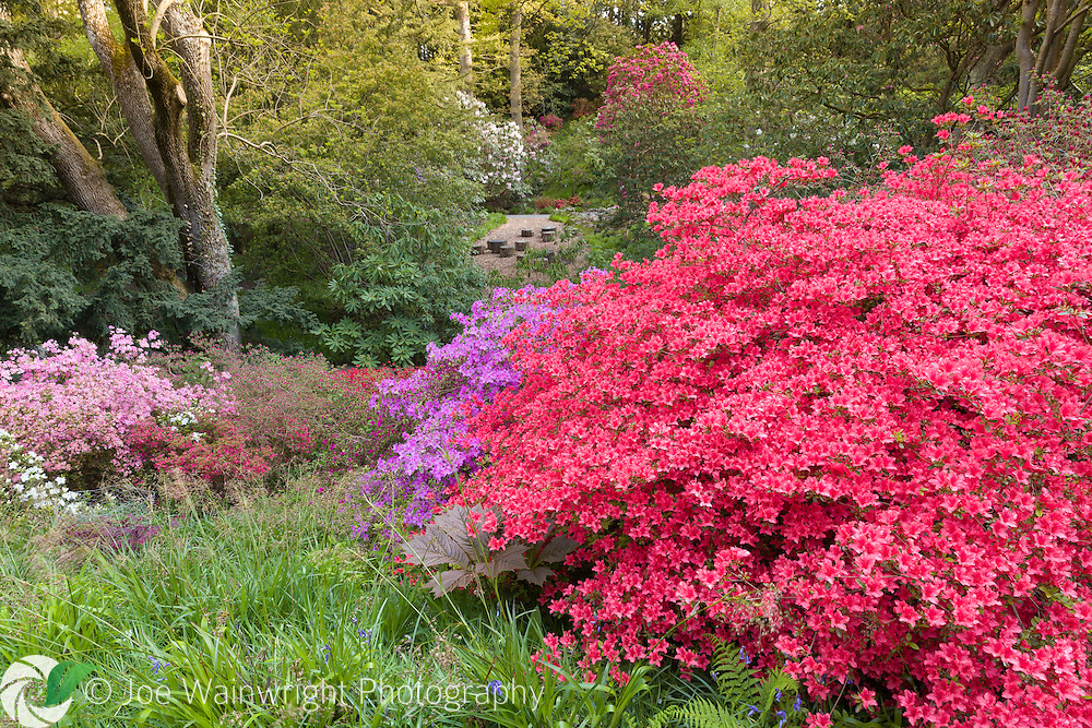 Azaleas line a path through the Yew Dell at Bodnant Garden, North Wales