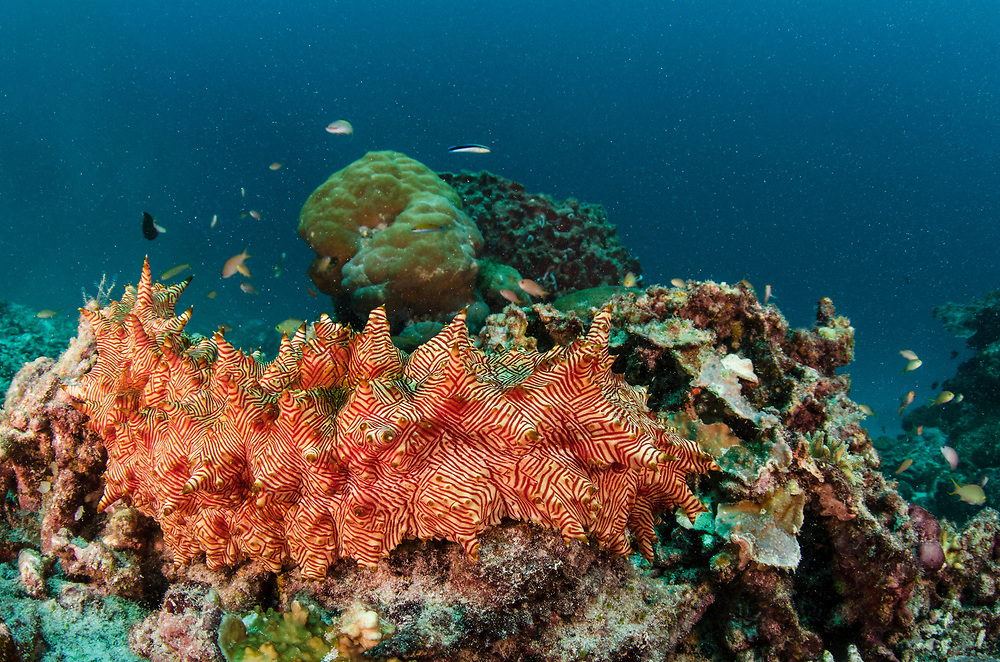 Candycane Sea Cucumber (Thelenota rubralineata)<br /> Raja Ampat<br /> West Papua<br /> Indonesia