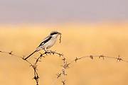 Great Grey Shrike, Northern Grey Shrike, or Northern Shrike (Lanius excubitor) on a barbed wire fence. Photographed in Israel in July