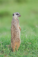 Suricate standing upright and looking around for danger, Addo Elephant National Park, Eastern Cape, South Africa