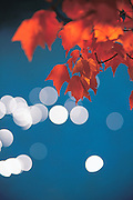 Autumn leaves on branch.