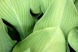 study #3: Hosta Leaf Lines