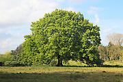 Large single oak tree in Spring, Methersgate, Sutton, Suffolk, England, UK