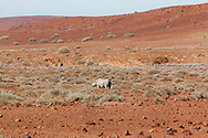 Historically, deret adapted black rhino were found across Namibia and into western South Africa but are now limited to northwestern Namibia where 90% of this sub-species occur. This sub-species survives in the most extreme, resource lmited habitat with typically less than 100mm of rainfall on a sparsely vegetated landscape.
