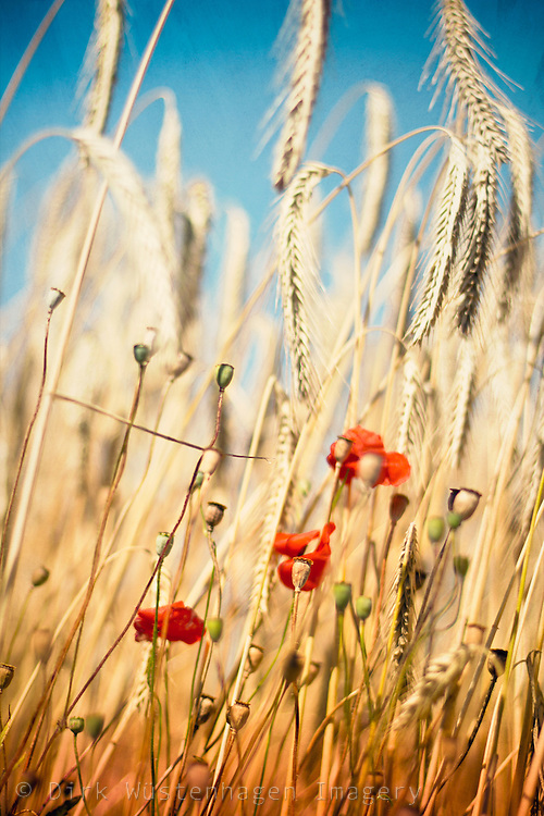 Three poppies in a wheat field