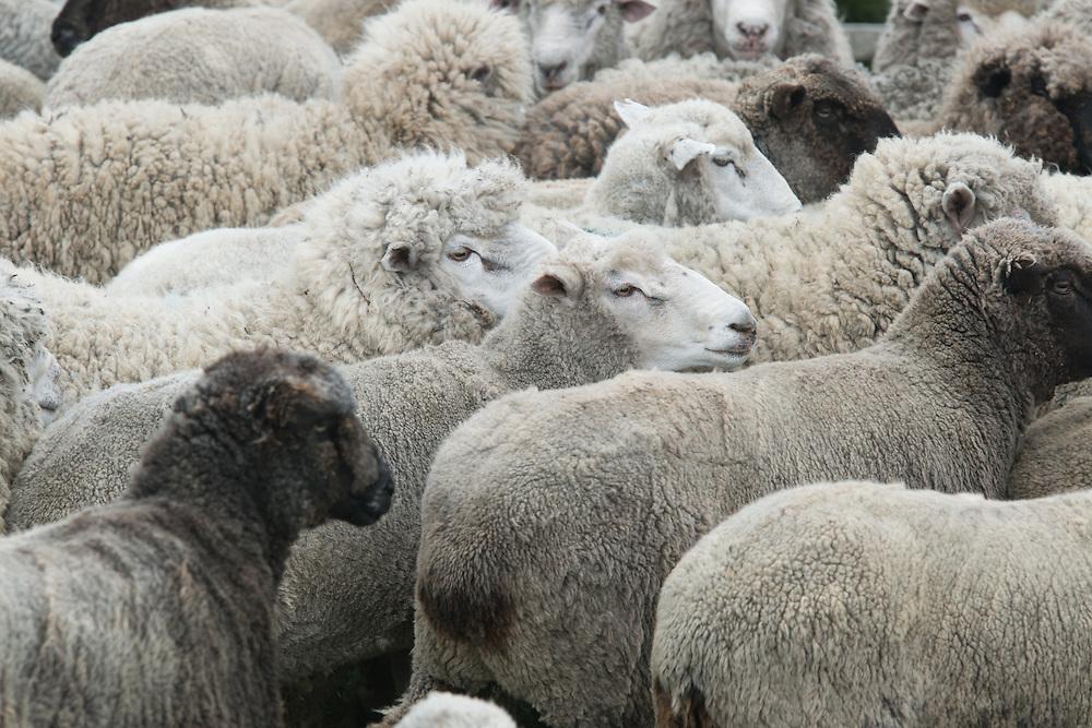 Flock of Sheep, Punta Arenas Chile