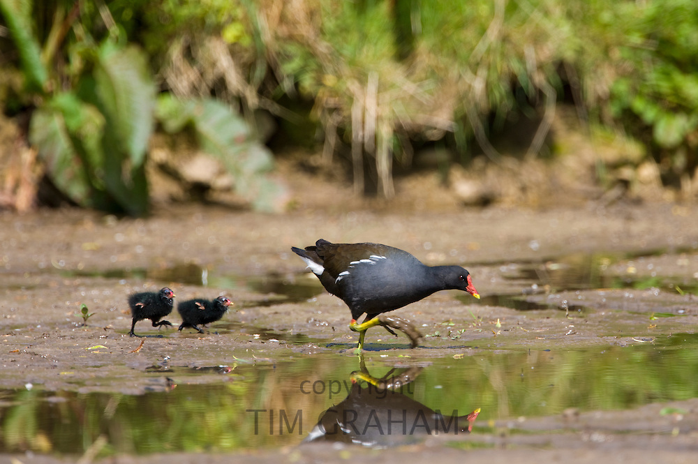 Moorhen, Gallinula chloropus, followed chick on a pond in Swinbrook, The Cotswolds, Oxfordshire, UK