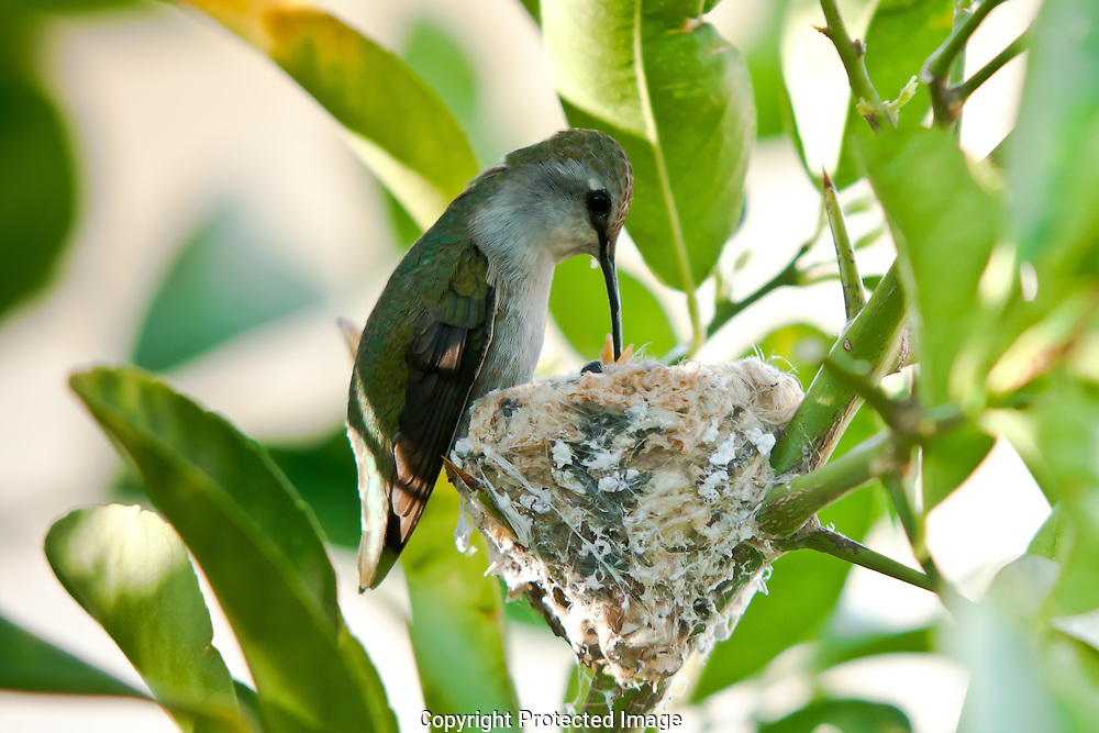 This female Anna's hummingbird will devote herself for the next 17-20 day feeding and caring for her new chick.  At then end of this period the chick will fledge and leave the nest.
