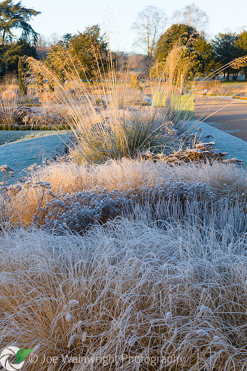 Frosted grasses in the Italian Garden at Trentham Gardens, Staffordshire - photographed in January