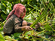 27 FEBRUARY 2015 - PHNOM PENH, CAMBODIA:  A woman harvest reeds in rural Cambodia. The reeds are chopped up and used in Cambodian salads or dried and used as roofing and construction material.   PHOTO BY JACK KURTZ