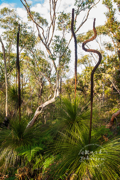 Grass trees growing on Mt. Tempest, Moreton Island, Queensland, Australia