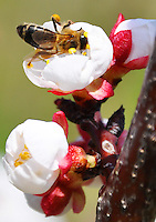 Switzerland. Springtime. Close-up of a honey bee at work collecting pollen from fruit blossoms.