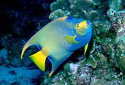 UNDERWATER MARINE LIFE CARIBBEAN, Fish; Queen Angelfish Holacanthus ciliaris