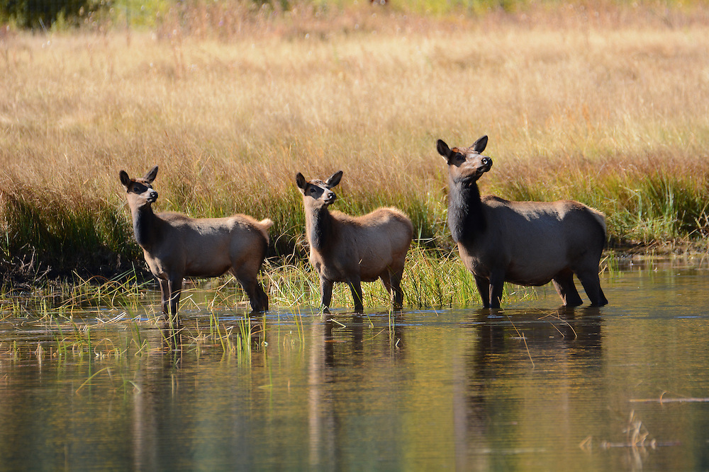 A mother elk and two calfs looking up from a pond