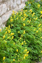 Yellow Corydalis growing at the base of a stone wall - Corydalis lutea syn. Pseudofumaria lutea