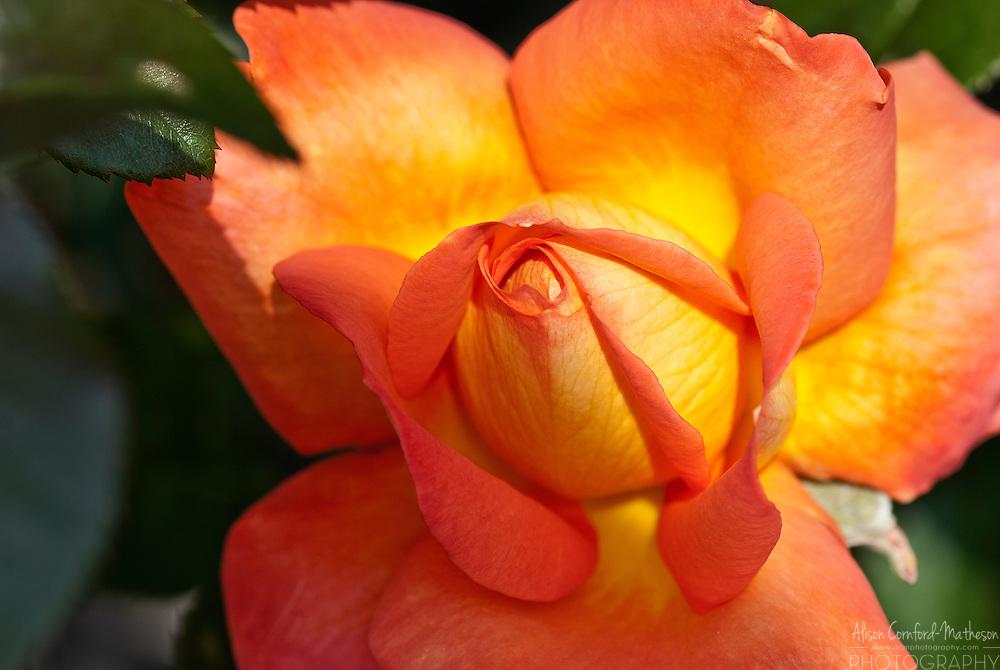 Rose Trocadero