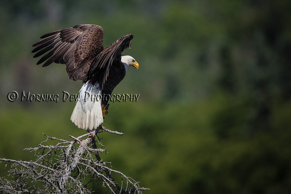A bald eagle lands in a tree above Brooks Falls, Katmai National Park