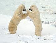 Polar bears sparring  (Ursus maritimus) on frozen tundra along the Hudson Bay Coast<br />Churchill<br />Manitoba