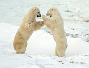 Polar bears sparring  (Ursus maritimus) on frozen tundra along the Hudson Bay Coast<br />