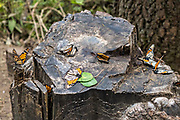 Dead monarch butterflies on a tree stump at an over-winter site in the El Rosario Monarch Butterfly Preserve near Ocampo, Michoacan, Mexico. The monarch butterfly migration is a phenomenon across North America, where the butterflies migrates each autumn to overwintering sites in Central Mexico.