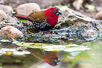 Male Red-Throated Twinspot bathing and drinking, Mphingwe Camp, Catapu, Sofala Province, Mozambique