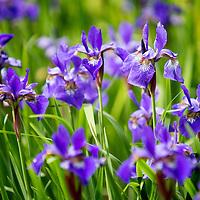 A field of purple irises taken in Hartland, Wisconsin.