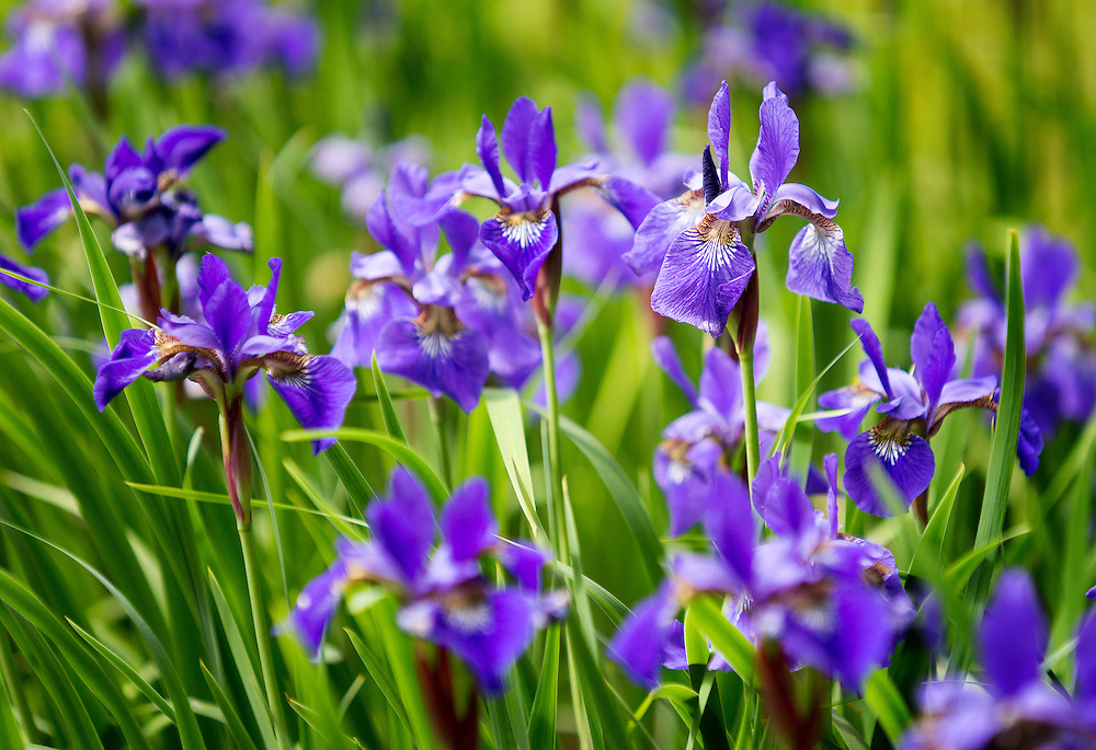A field of purple irises taken in Hartland, Wisconsin.