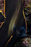 Juvenile Pinnate Spadefish.Shot in West Papua Province, Indonesia