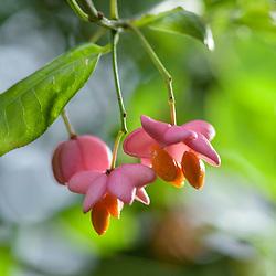 Celastraceae, Kardinaalsmutsfamilie