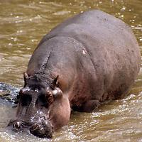 Africa, Kenya, Maasai Mara. A hippopotamus in the Olana River.
