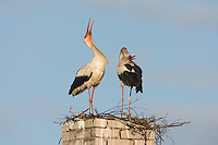 White stork (Ciconia ciconia) pair displaying (bill clapping) at nest on old chimney. Rusne, Lithuania. Mission: Lithuania, June 2009