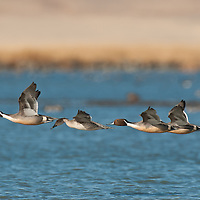 four pintail ducks, courtship flight, northern pintail ducks courtship flight