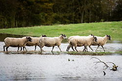 © Licensed to London News Pictures. 19/11/2015. Acaster Selby  UK. Sheep make their way across flooded farm land at Acaster Selby after the River Ouse broke it's banks & flooded the area. The environment agency has said further flooding in the area is expected today. Photo credit: Andrew McCaren/LNP