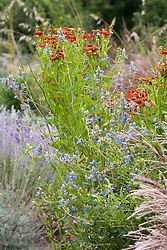Salvia uliginosa AGM and Helenium 'Dunkelpracht' seedling