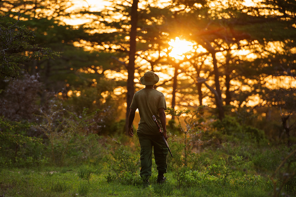 Selous Game Reserve, Tanzania -   2015-01-20  - Ranger Ruastar Muigi walking in the Selous Game Reserve at sunset on January 20, 2015. The governments of the United States and Germany have donated field equipment and training to combat the threat of poaching in the Selous. In addition to the tents, torches, cameras, binoculars and boots, US Marine instructors will train game wardens to improve their techniques.  Photo by Daniel Hayduk