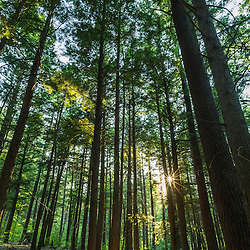 A grove of Eastern Hemlock, Tsuga canadensis, in Madbury, New Hampshire.