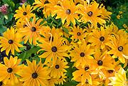 gelbe Blumen, Sonnenhut, Deutschland | yellow flowers, Germany