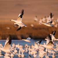 first snow geese take flight early morning