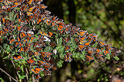 Monarch Butterflies mass along a Oyamel fir tree in the Sierra Pellon mountain at the Monarch Butterfly Biosphere Reserve in Sierra Pellon central Mexico in Michoacan State. Each year hundreds of millions Monarch butterflies mass migrate from the U.S. and Canada to forests in the volcanic highlands of central Mexico. North American monarchs are the only butterflies that make such a massive journey—up to 3,000 miles (4,828 kilometers).