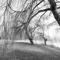 Weeping willow trees bending with bare branches over a foggy lagoon.