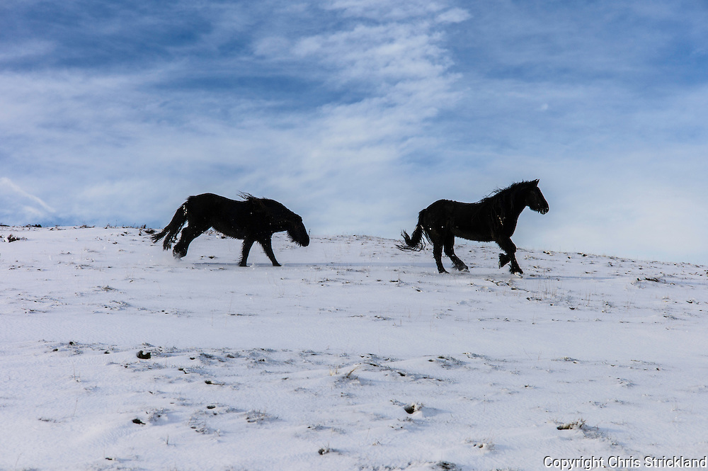 Towford, Hownam, Jedburgh, Scottish Borders, UK. 14th January 2016. Fell ponies in the snow at Towford Farm near Hownam in the Scottish Borders.