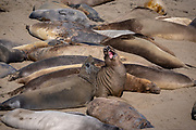 Two elephants seals sparring in a group while the others sleep around them.