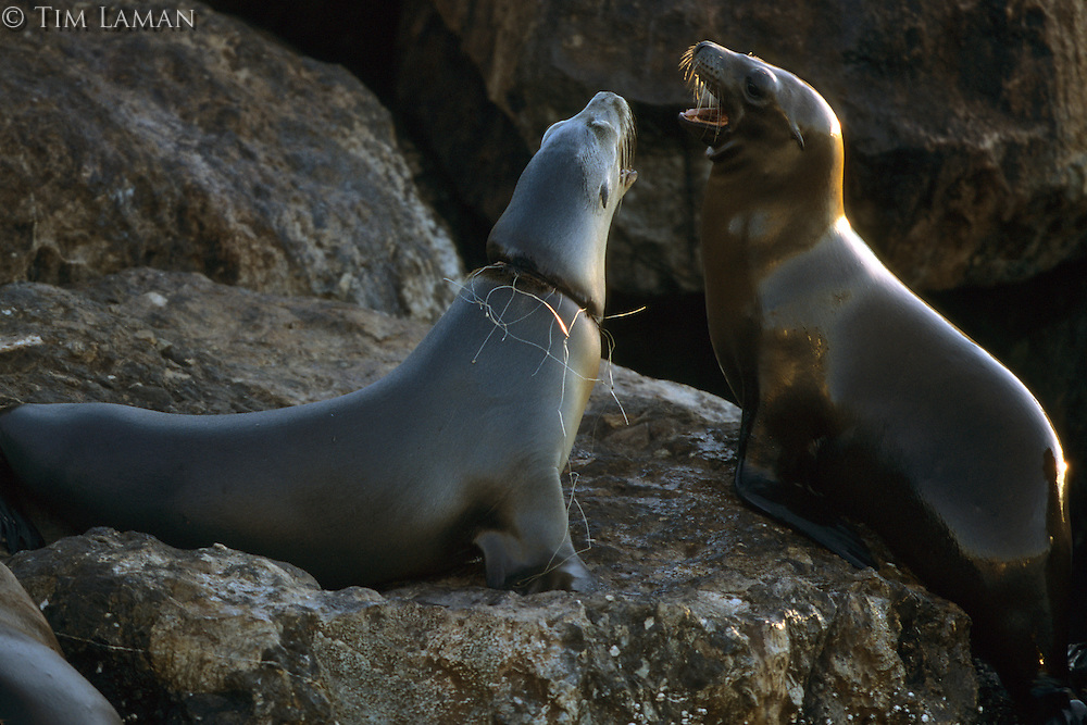 California sea Lions (Zalophus californianus).  Monterey Bay, California.  Oct 2002.