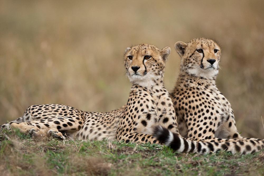 Africa, Kenya, Masai Mara Game Reserve, Cheetahs (Acinonyx jubatas) resting on grassland under looming storm clouds