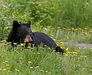 Black Bear (Ursus americanus) sow eating dandelions on a summer day, Arctic Valley.