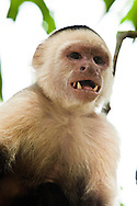 Close up of a wild White-headed Capuchin (Cebus capucinus) displaying its upper and lower canine teeth - Osa Peninsula, Costa Rica