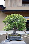 Photo shows a Chinese quince tree  on display at the Saitama Omiya Bonsai Museum of Art in Saitama, Japan on 15 Aug. 2011..Photographer: Robert Gilhooly