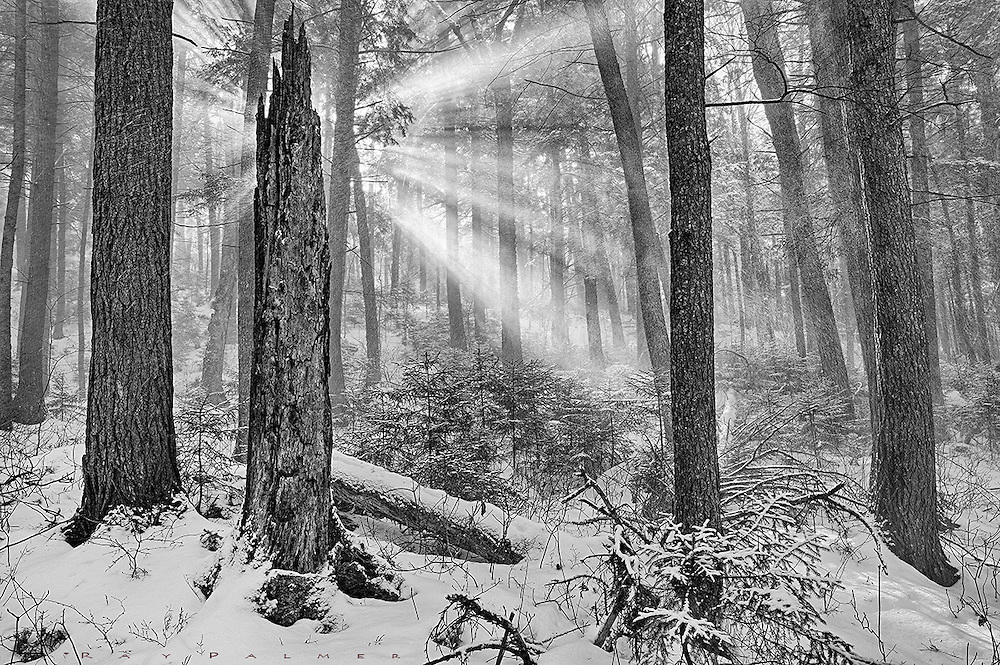 Wilcox Lake Wild Forest, Adirondacks, NY<br /> RP12208_9_1012.<br /> <br /> The snowfalls of the last couple of the last couple of days coated everything, here in the forest along Stony Creek.  Damnably cold, the forecast was to get colder with high winds.  But late into the morning, the snowshoe effort held off the temperatures and the forest was still and muffled under the great pine canopy.  The blow started on the way back, high above in the treetops, though here at ground level I felt none of it.  As the gusts grew stronger, the branches gave up their snow cover, and it showered down through the canopy in fine sheets.  The falling snow mist, in turn, defined the sunlight, splintered by branches high above me and piercing the snow fog like the beam of a searchlight.  It was at this place that my companion stopped to add a layer, and here the light was coming straight through the woods instead of ahead of us on the trail.  I set up with a jagged, lightning-hit tree blocking out most of the orb of the sun,and started shooting series everytime the gusts sent the snow flying.  He quickly got moving, but God Rays are not to be taken lightly, and I stayed as long as I could stand it, fingers reaching pain level and remote cord threatening to snap in half.  Though I've experienced these type of scenes in the fog (in appreciably warmer seasons), I counted my blessings of witnessing a similar phenomenon with snow.